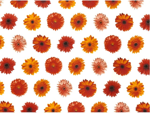 Gerbera Chintz 200mm x 200mm