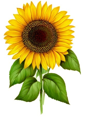 Field Sunflower 70 mm x 40 mm - Set of 3