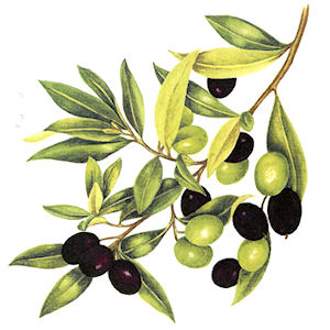 Olives - Medium - 65 mm x 60 mm - Set of 3