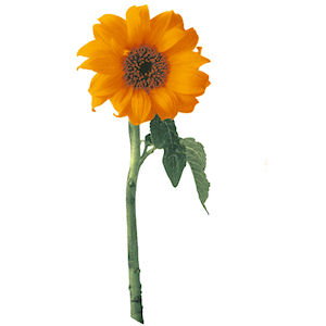 Sunflower - Large - 75 mm - Set of 3